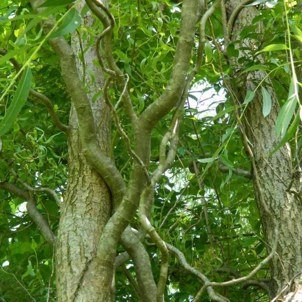 Corkscrew Willow Care: Tips For Growing A Curly Willow Tree