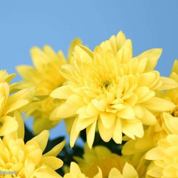 盆栽菊花冬天怎么养|附修剪图