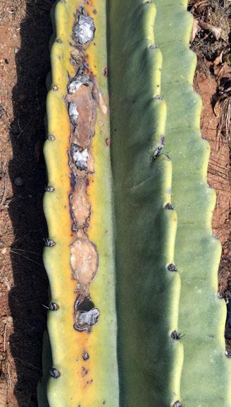 Cactus Fungus Treatment – Learn About Fungal Lesions On Cactus