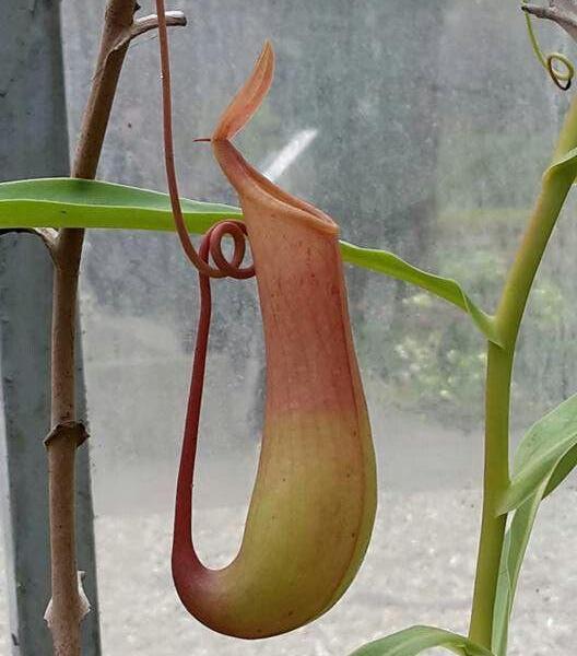 Carnivorous Plant Problems: Why A Pitcher Plant Has No Pitchers