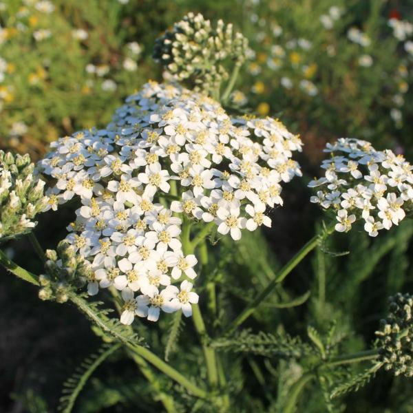 Using Yarrow In Compost – Is Yarrow Good For Composting