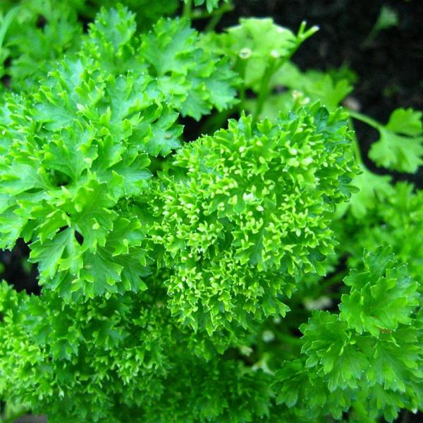 Parsley Care In Winter: Growing Parsley In Cold Weather