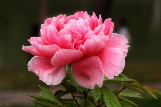 牡丹花的种植