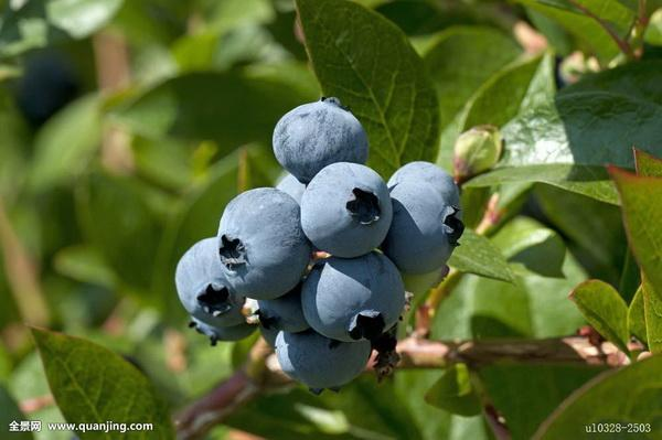 How to Get the Soil Just Right for Growing Blueberries
