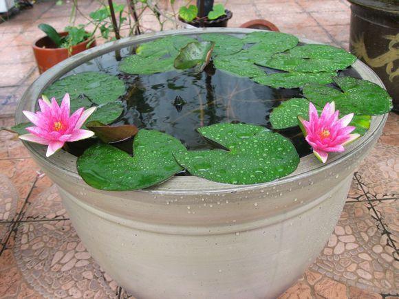 水培碗莲的操作步骤