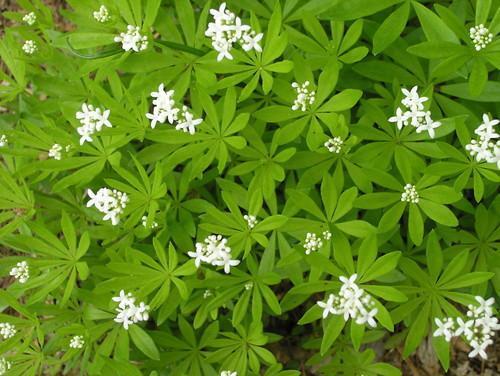Growing Sweet Woodruff: Tips To Grow Sweet Woodruff Herb