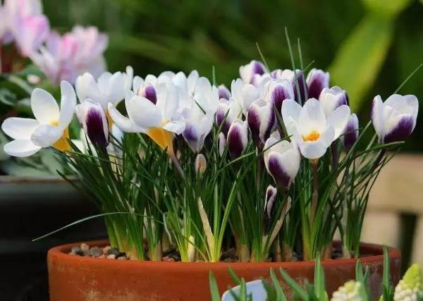 花叶美如画的藏红花,花蕊被称作西藏西药的植物