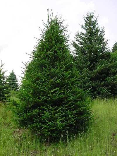 Norway Spruce Tree Info: Care Of Norway Spruce Trees