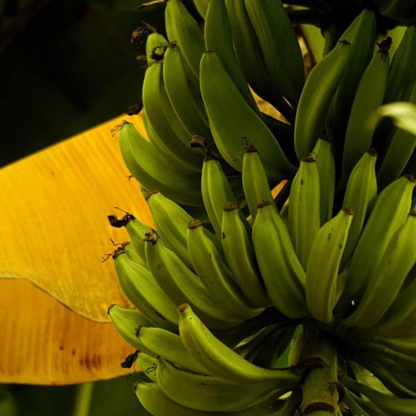 #growing fruit How to Grow Banana Trees in Pots