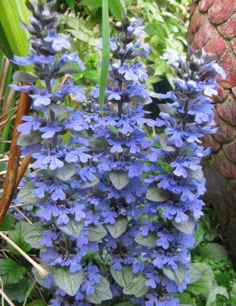 Propagating Ajuga Plants – How To Propagate Bugleweed Plants