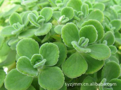 常见香草的栽培品种