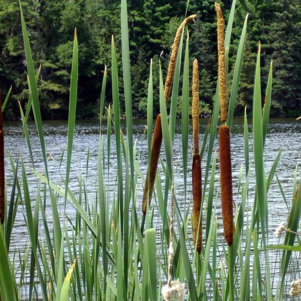 Uses For Cattail Plants: Information On Mulching With Cattails