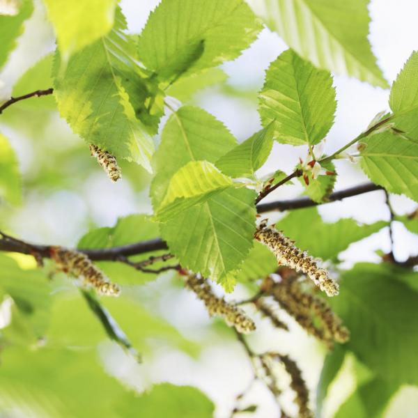 Black Alder Tree Info: Tips On Planting Black Alder In The Landscape