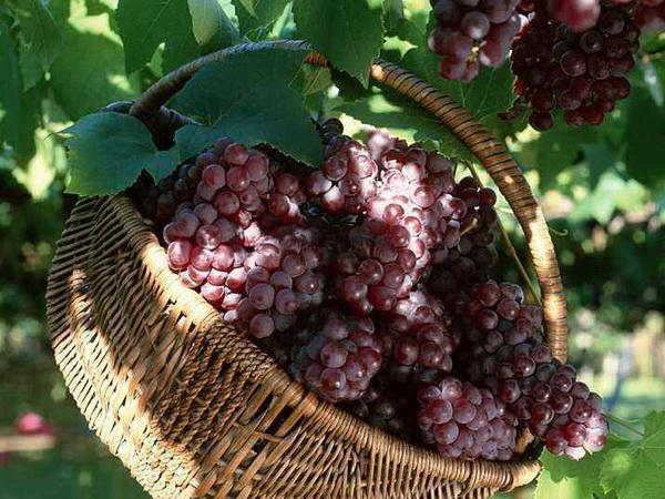 How to Grow Muscadine Grapes From Seed