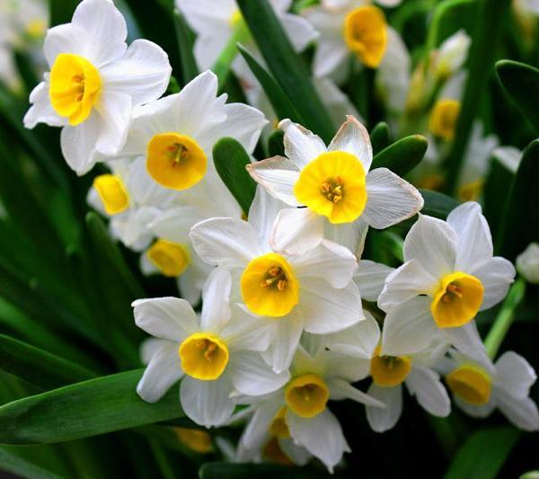 水仙花种球的养殖方法