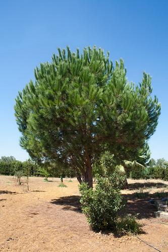 Árboles: el Pino Piñonero