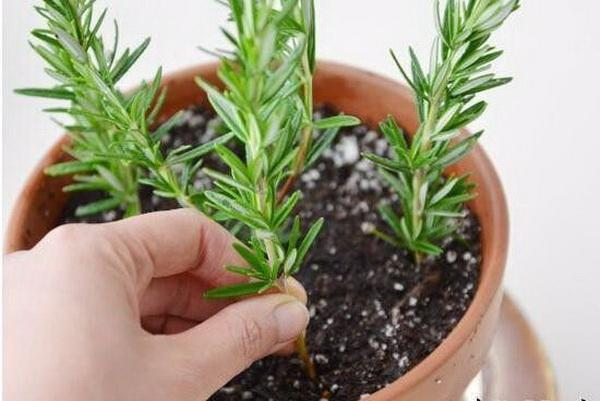 How to Regrow Rosemary