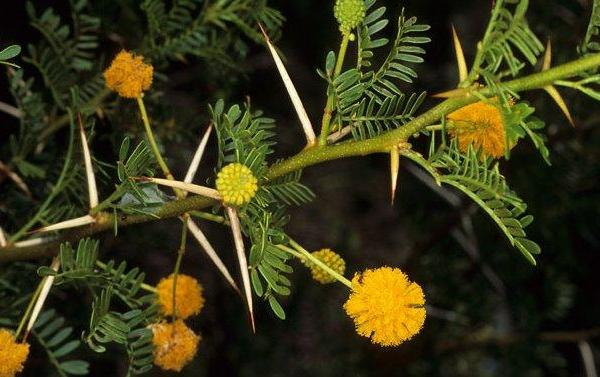 Sweet Thorn Information: What Is An Acacia Sweet Thorn Tree