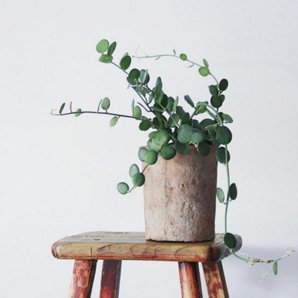 Plant: Silver dollar vine
