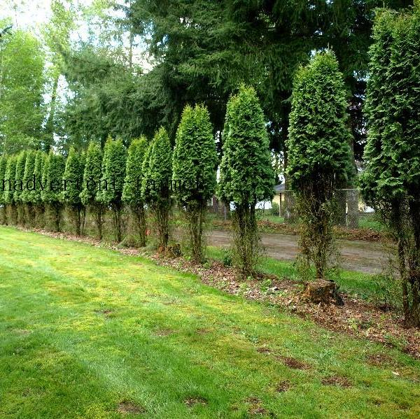 Arborvitae Winter Care: What To Do About Winter Damage To Arborvitae