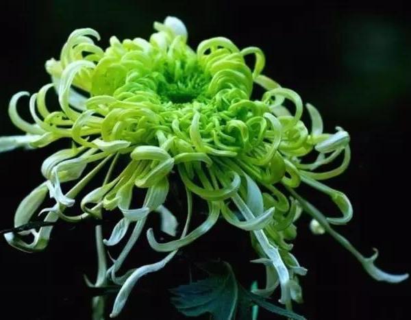 难得一见的绿菊花 真漂亮