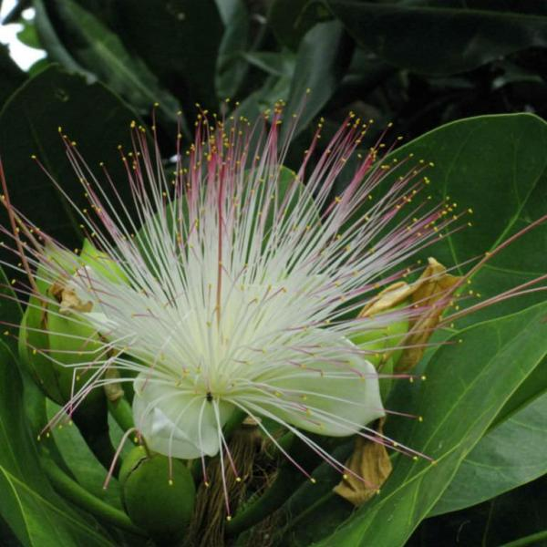 Barringtonia asiatica – Fish Poison Tree
