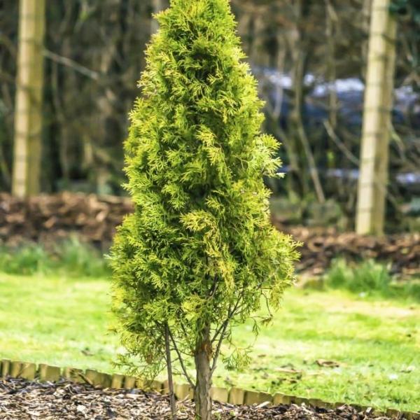 Fertilizing Arborvitae – When And How To Fertilize An Arborvitae