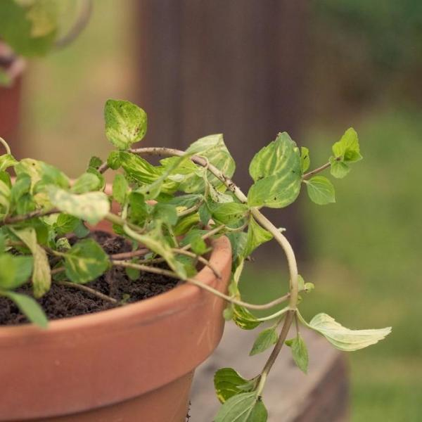 Ginger Mint Herbs: Tips On Growing Ginger Mint In Gardens