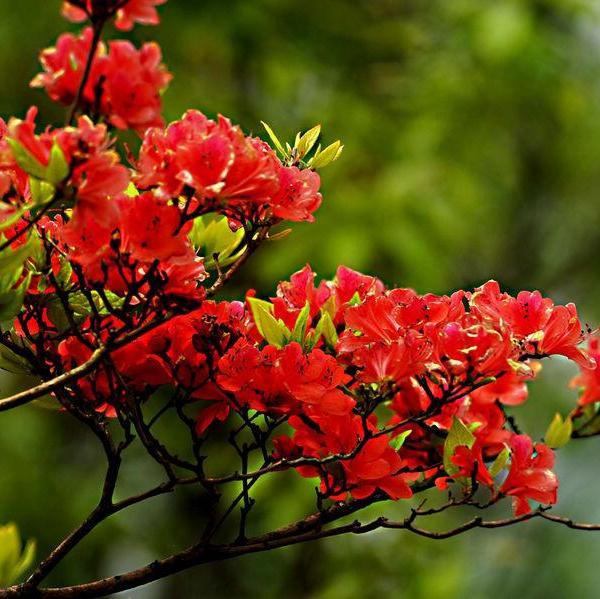 杜鹃花开花前怎样养护