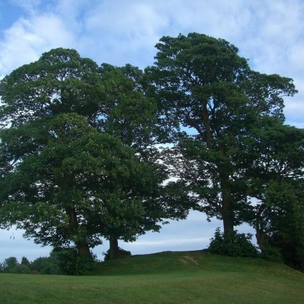 Sycamore Tree Care: How To Grow A Sycamore Tree