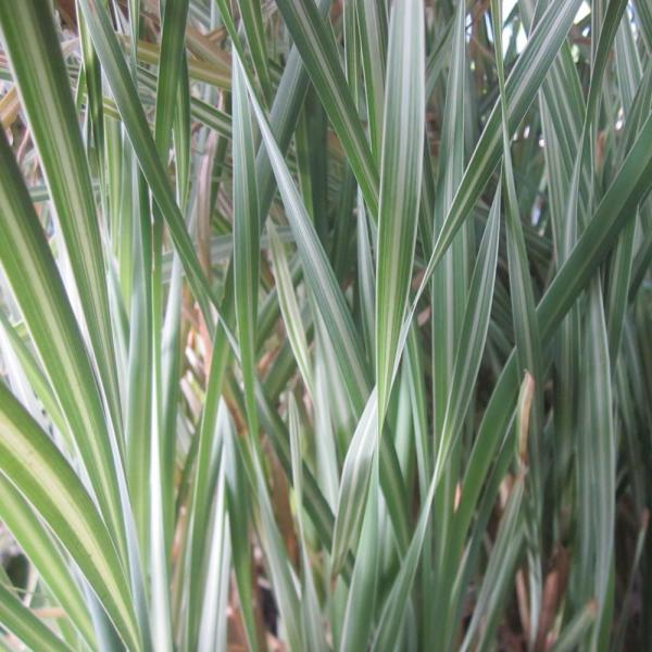 Container Cattail Care: Tips For Growing Cattails In Pots