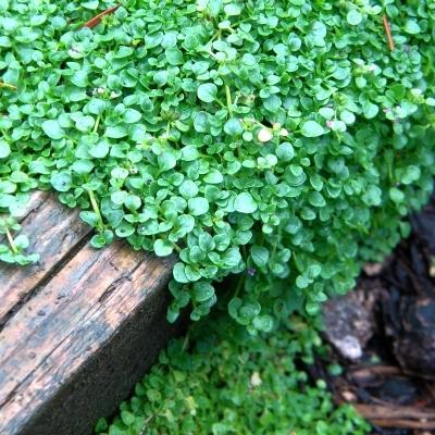 Using Corsican Mint: Caring For Corsican Mint In The Garden