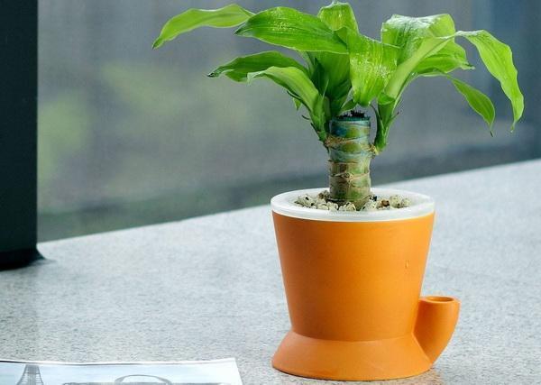 家庭养殖巴西木的的方法及繁殖方式
