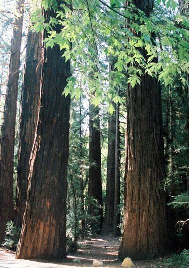 Redwood Tree Identification: Learn About Redwood Forests