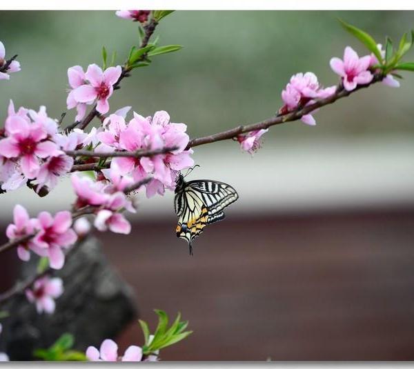 桃花有毒吗