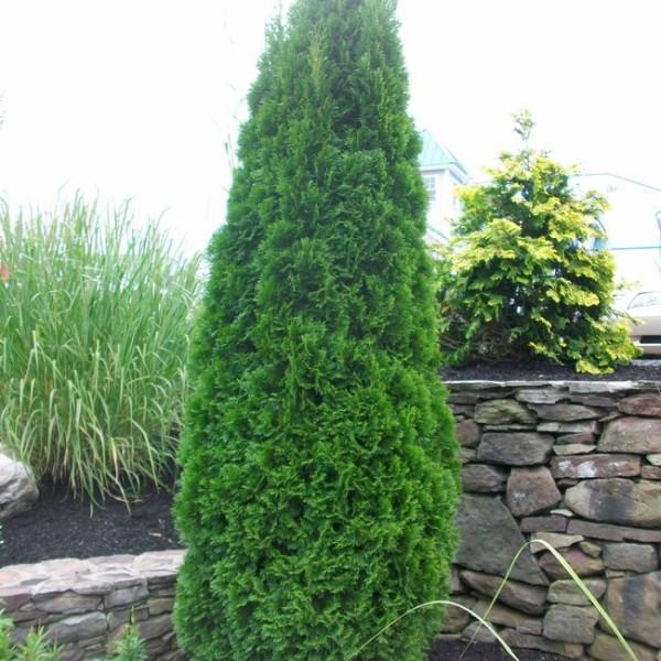 Growing Arborvitae Trees – Tips On How To Grow An Arborvitae
