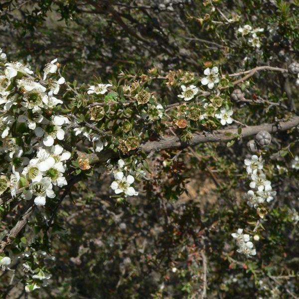 Growing Esperance Plants: Information On Silver Tea Tree