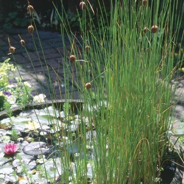 Cattails For The Pond – Tips On How To Control Cattails