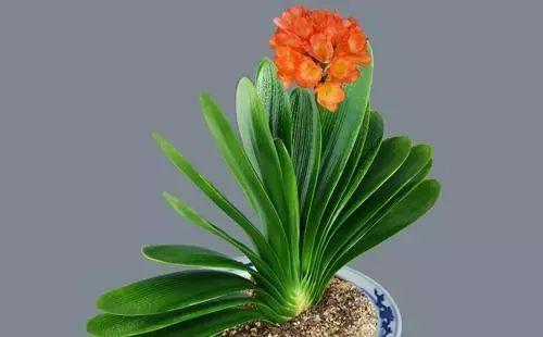 瓦盆里加点东西君子兰就能一直开花,养几十年都不会烂根
