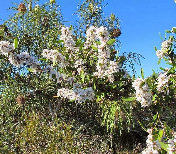 Australian Tea Tree Info: Tips For Growing An Australian Tea Tree