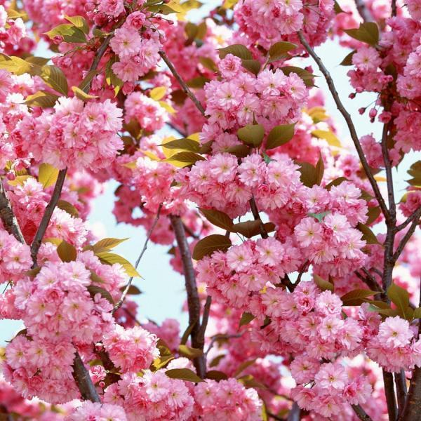 怎样使盆栽桃花在元旦准时开放