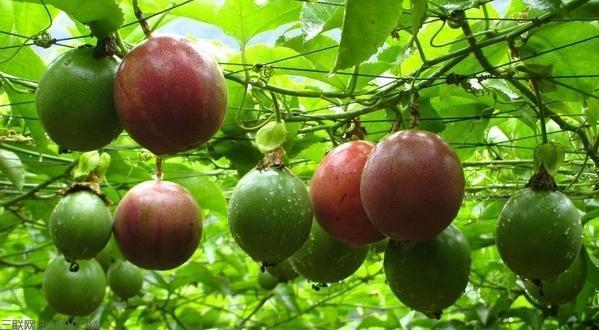 吃完百香果,种子撒盆里,一年结3次果,一次100个
