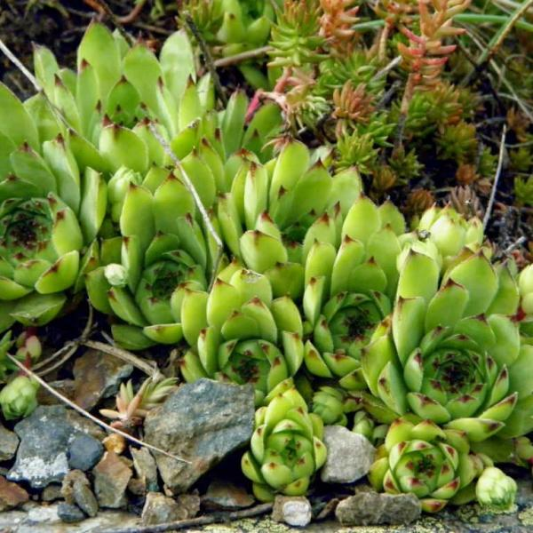 Houseleek: Superstitions, Hystory and Medicinal Benefits