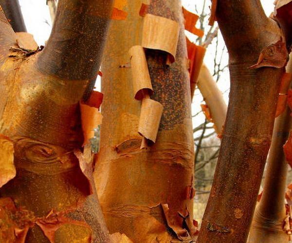 La belleza y colorido de troncos y ramas en invierno