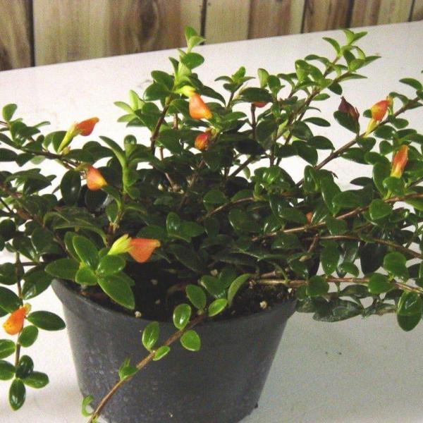 Nematanthus wettsteinii – Goldfish Plant