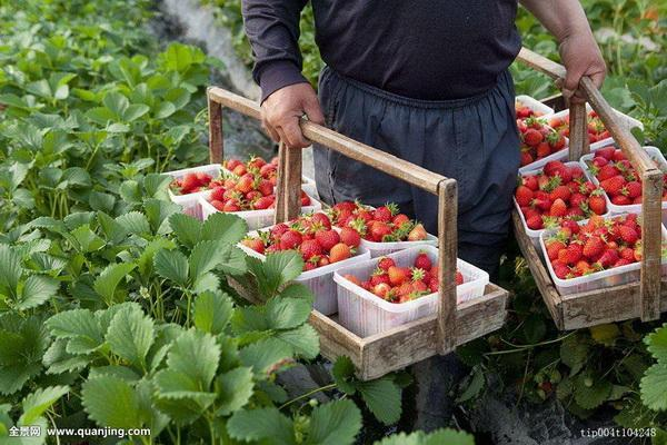 The Best Time to Transplant Strawberry Plants