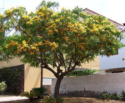 What Is A Tipu Tree: How To Grow A Tipuana Tree