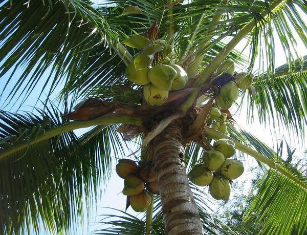 椰子的营养价值