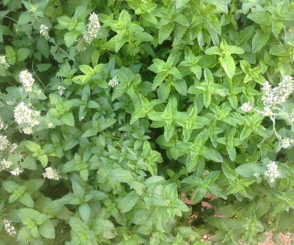 Mint Plant Borers: How To Treat Mint Borers In The Garden