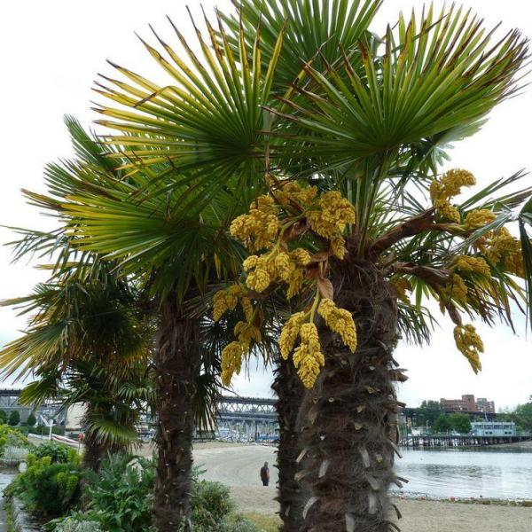 Pink Rot On Palms: Tips For Treating Palms With Pink Rot Fungus